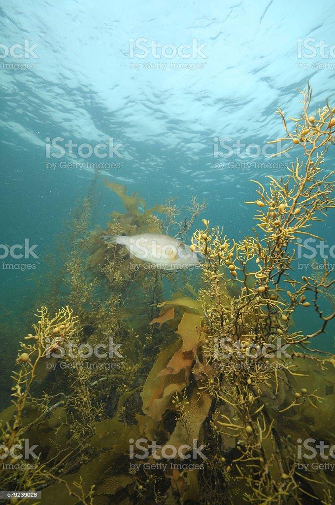 Leatherjacket among seaweeds stock photo