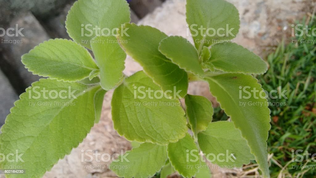 leave green herb stock photo