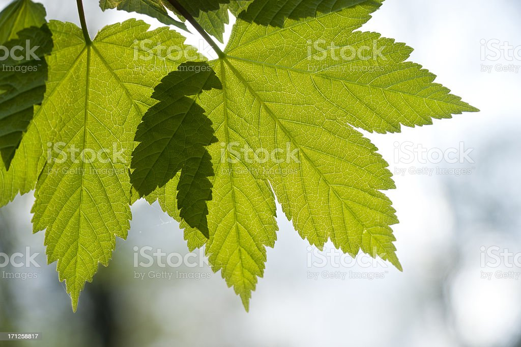 Leave of maple [genus Acer] in spring stock photo