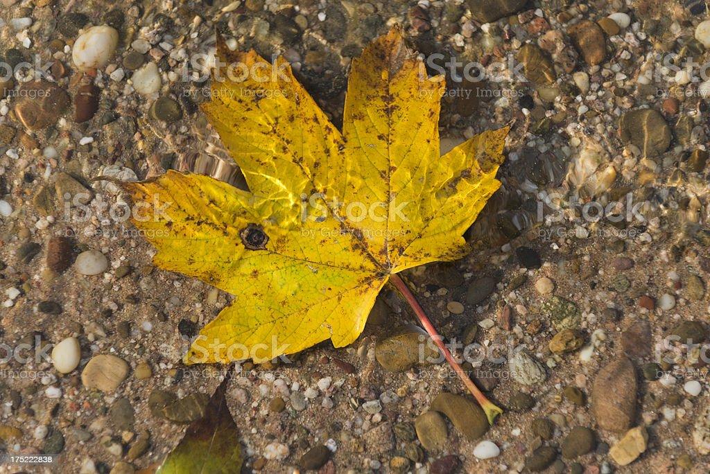 Leave of maple [genus Acer]  (image size XXXL) stock photo