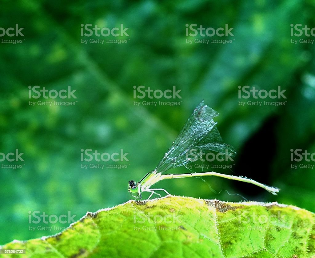 leaves a damselfly stock photo