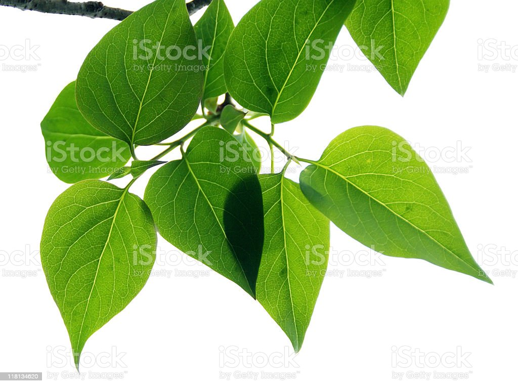 Leaves Against White Background royalty-free stock photo
