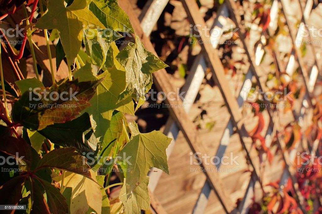 Leaves and a wooden lattice stock photo