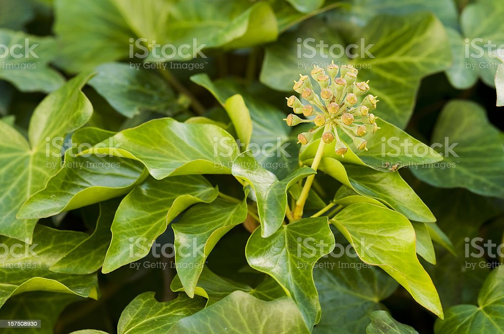 Leaves and flower of  ivy royalty-free stock photo