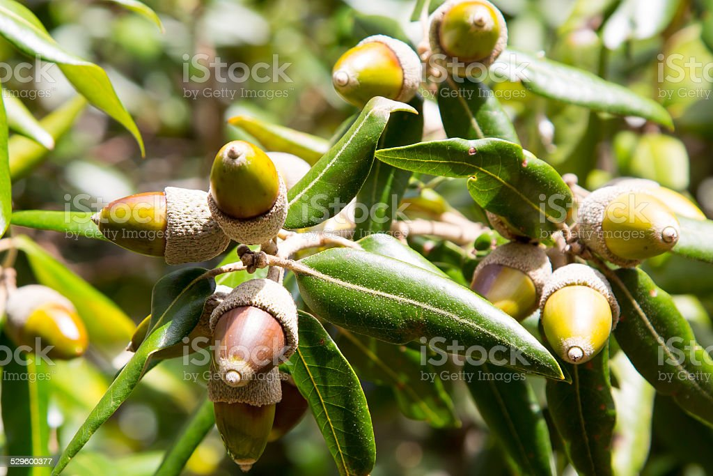 leaves and fruit acorns of holly or holm oak stock photo