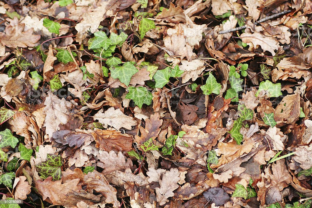 Leaves and Ivy royalty-free stock photo