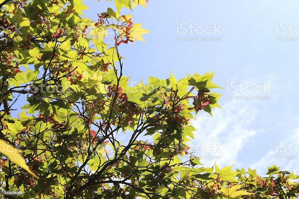 Leaves and seeds of Japanese maple (acer palmatum 'osakazuki') image stock photo
