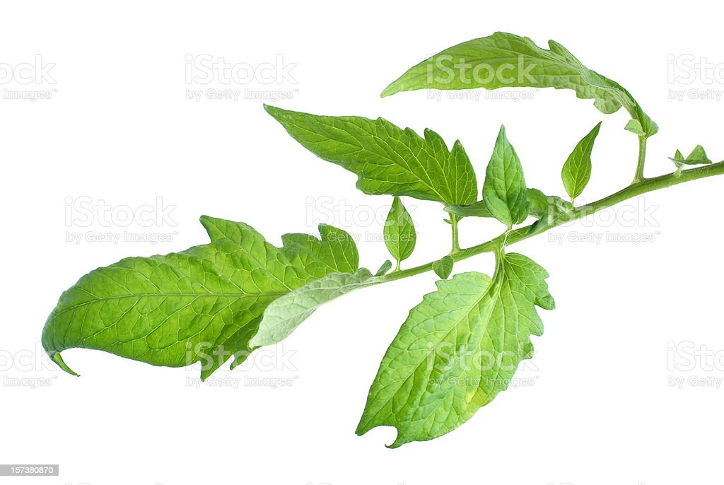 leaves and stem-tomato plant royalty-free stock photo