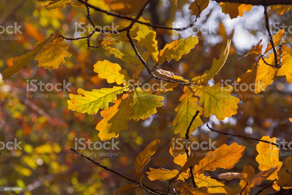Leaves autumn on the branches of the oak. stock photo