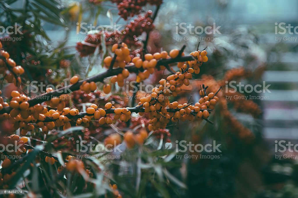 Leaves, branches and berries of sea buckthorn stock photo