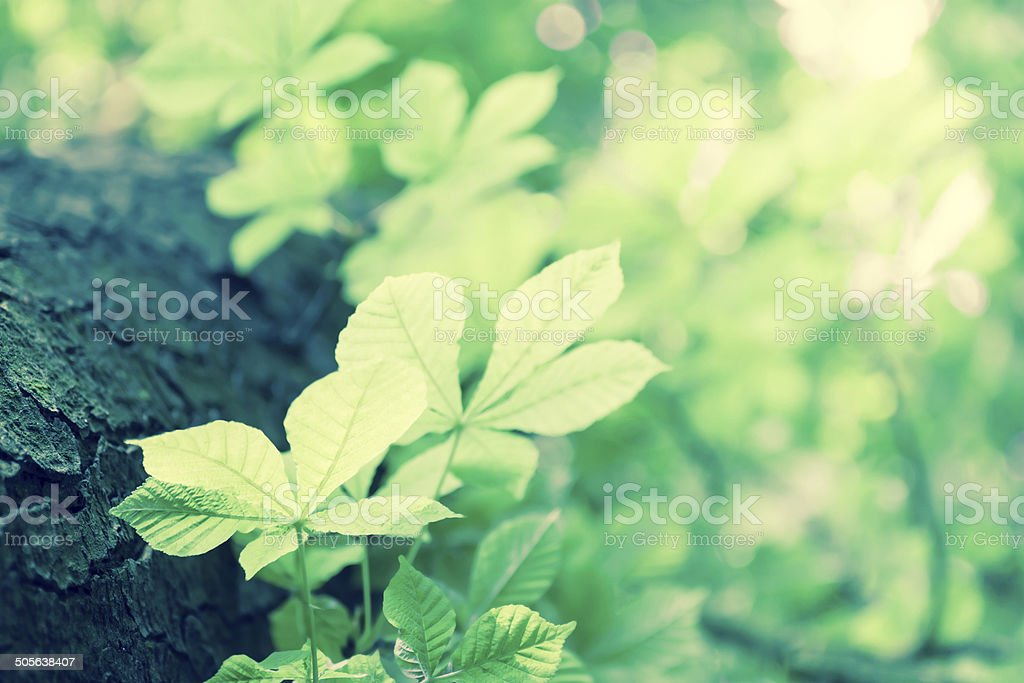 leaves chestnuts stock photo