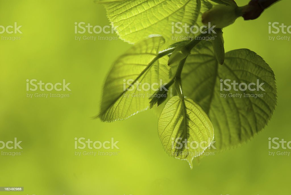 Leaves Close Up on Green Background royalty-free stock photo