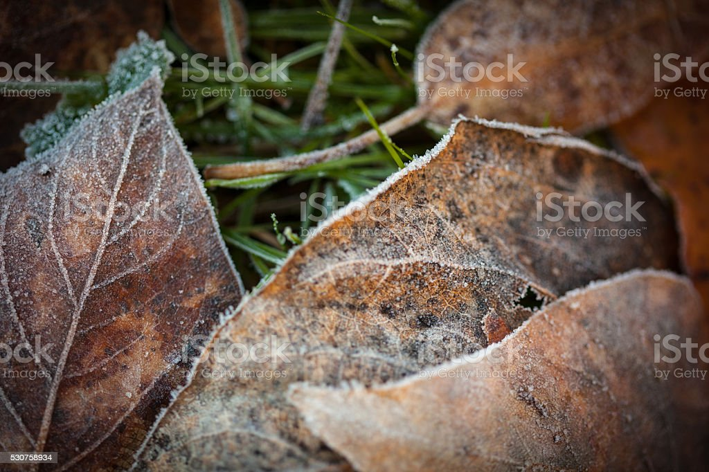 Leaves covered in frost on the ground. stock photo