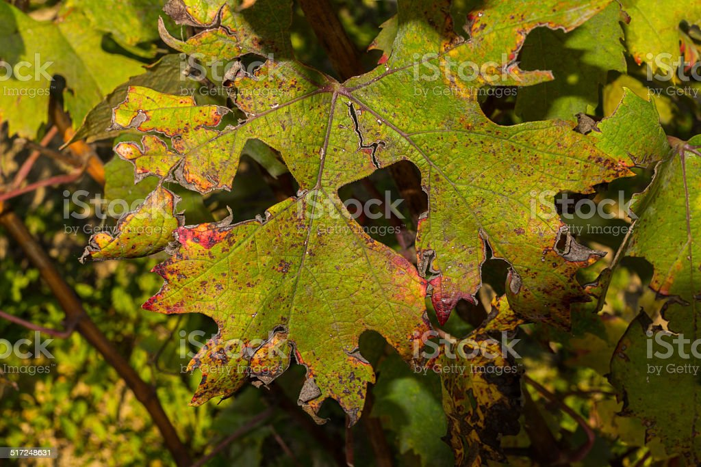 Leaves damaged by hail (Langhe, Unesco World Heritage site) stock photo