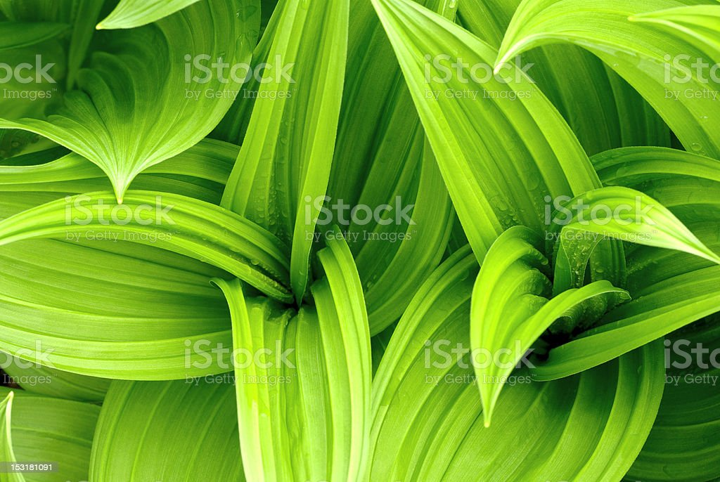 Leaves drops green royalty-free stock photo