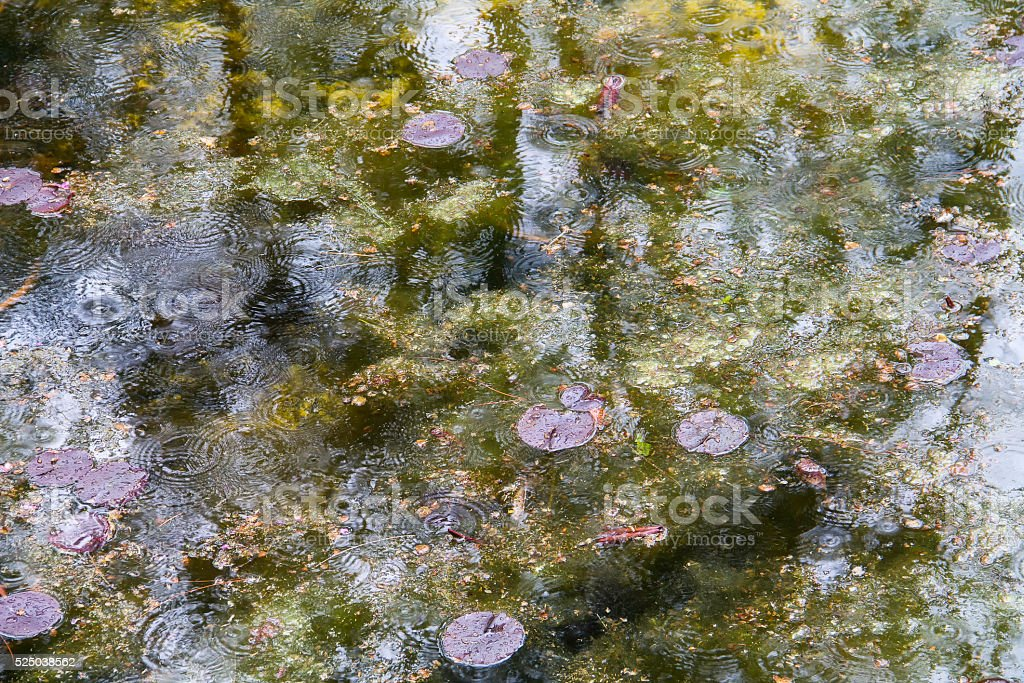leaves floating on the lake in the rain stock photo