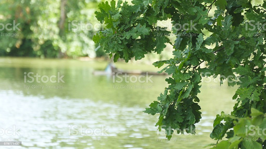 Leaves fluttering in the wind over the lake. Oak tree foto de stock libre de derechos