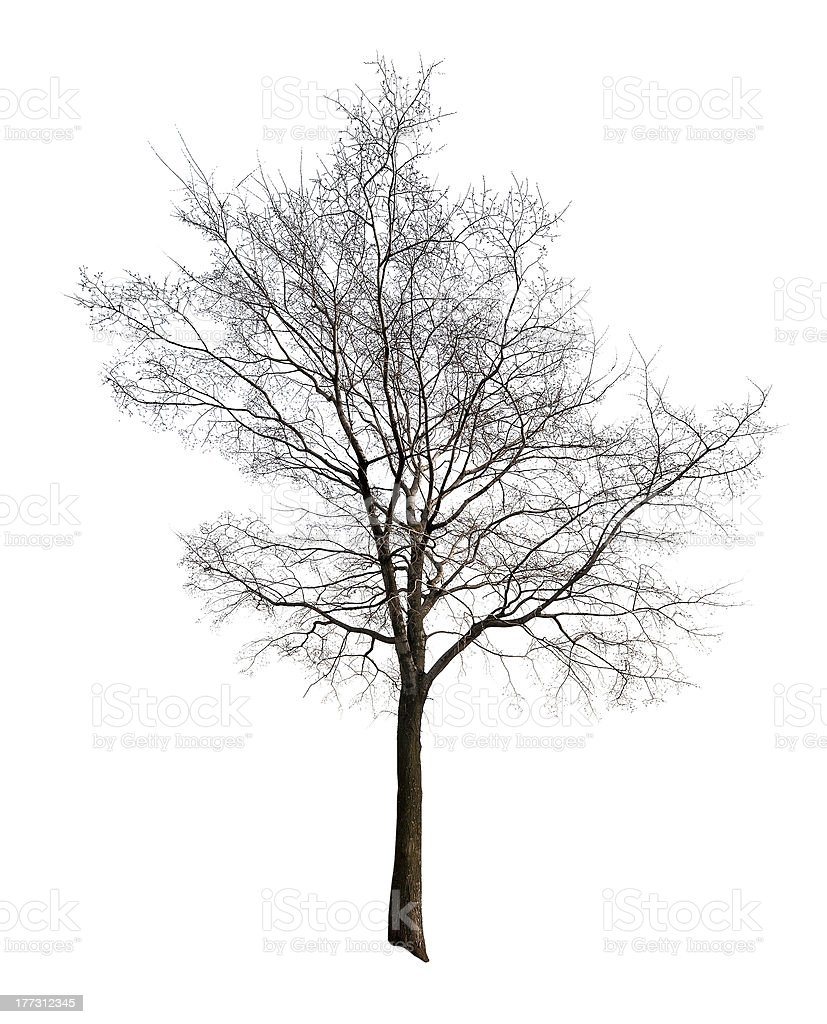 leaves free isolated on white tree royalty-free stock photo