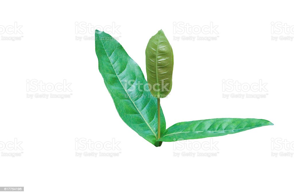 Leaves green isolated on white background stock photo