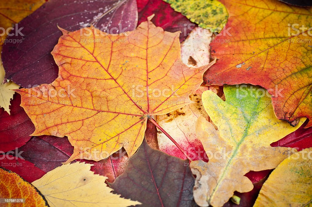 leaves in fall royalty-free stock photo