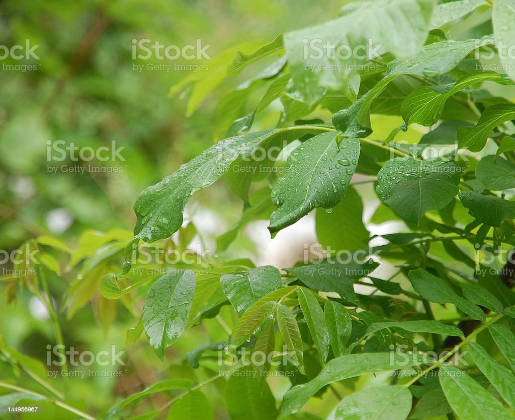 Leaves in rain shower royalty-free stock photo