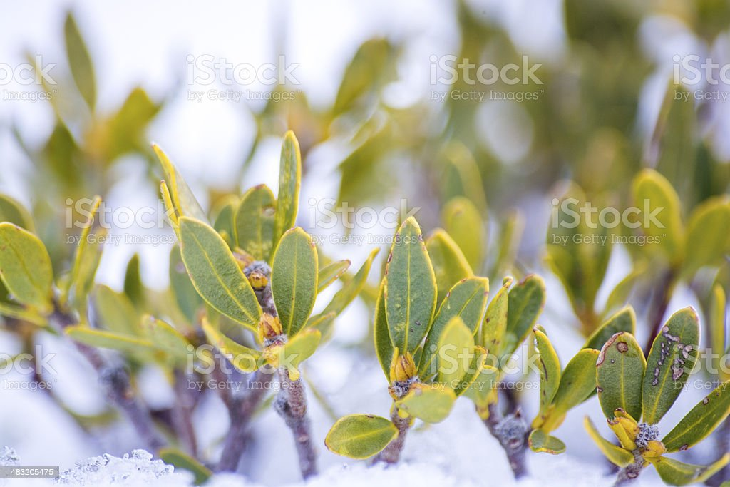 Leaves in Snow stock photo