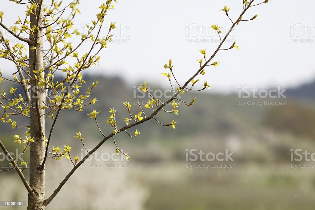 leaves in spring with backlit royalty-free stock photo