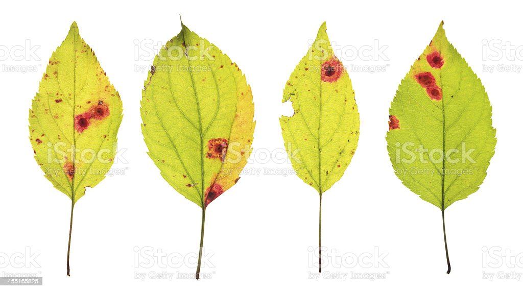 Leaves infected by Rust of cherry stock photo