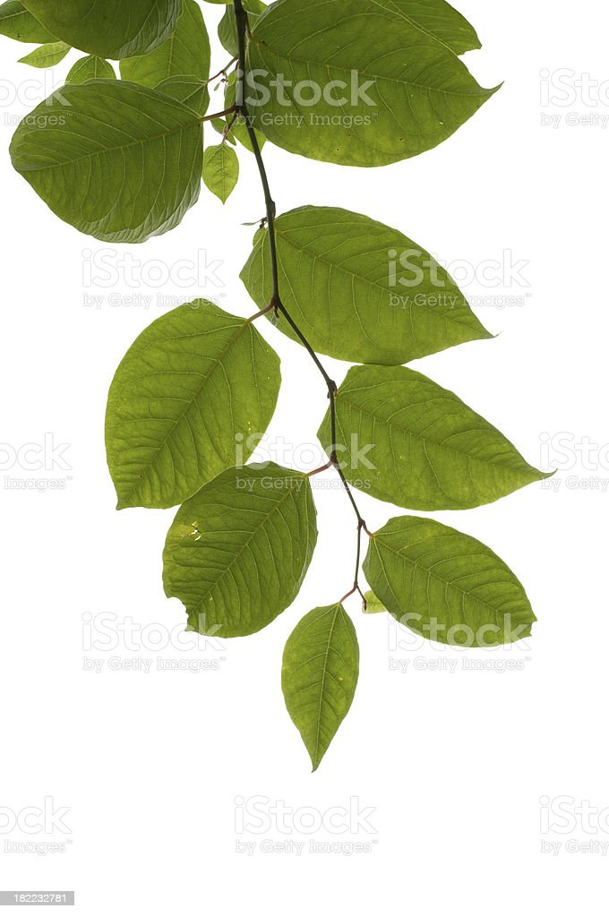 Leaves isolated on white stock photo