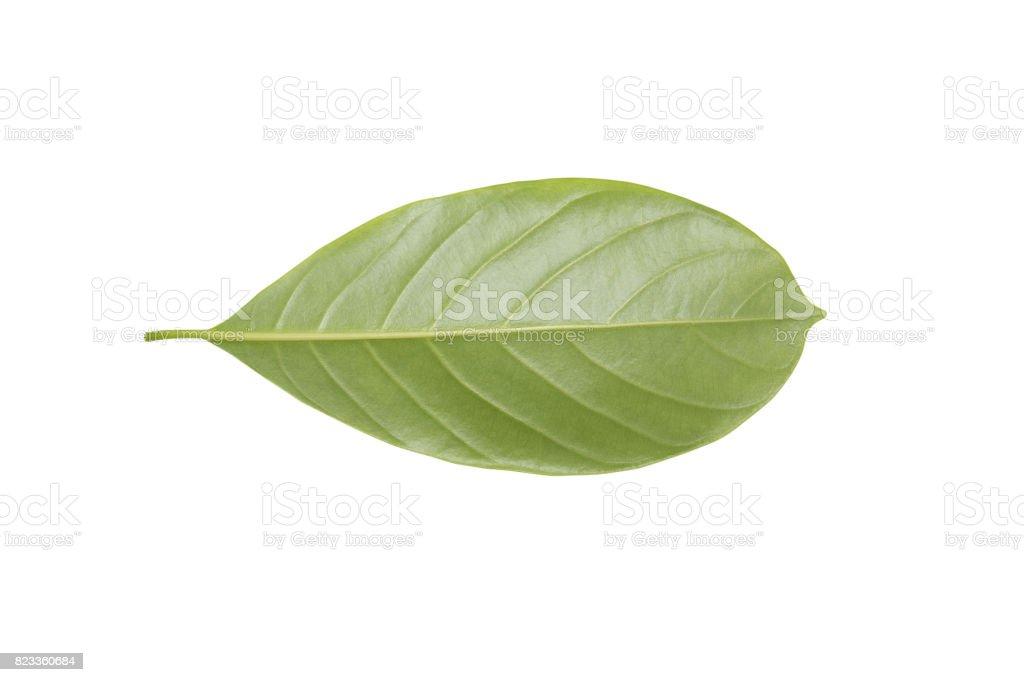 Leaves  Jackfruit on a white background stock photo