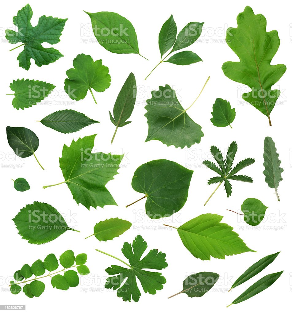 Leaves Leaf Isolated Collection Assortment royalty-free stock photo