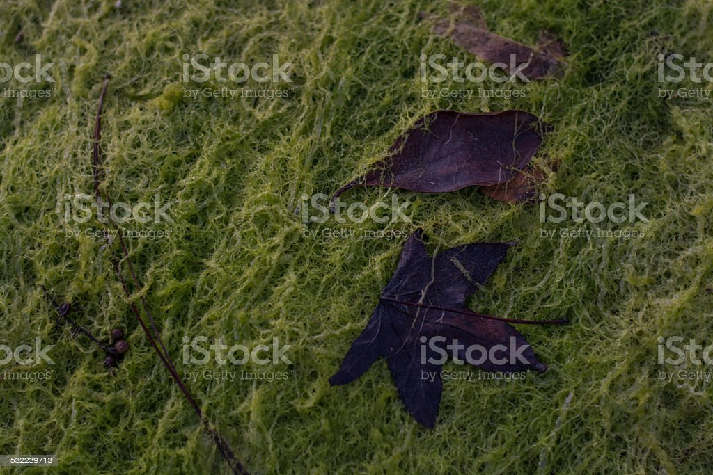 Leaves lying on a bed of algae stock photo