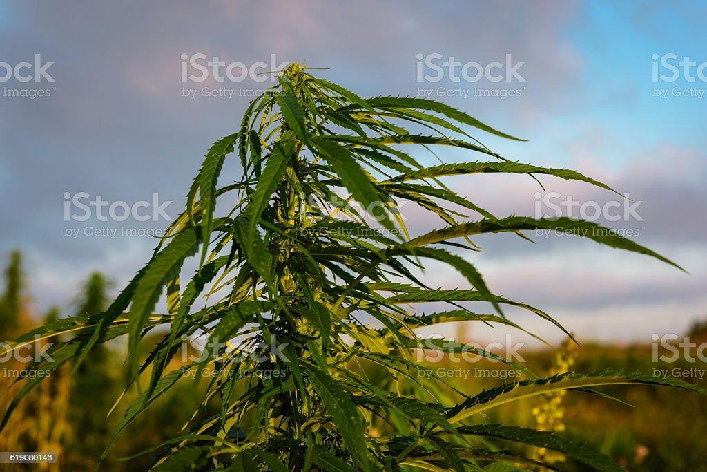 Leaves marijuana plant stock photo