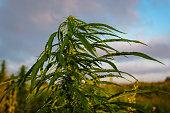 Leaves marijuana plant
