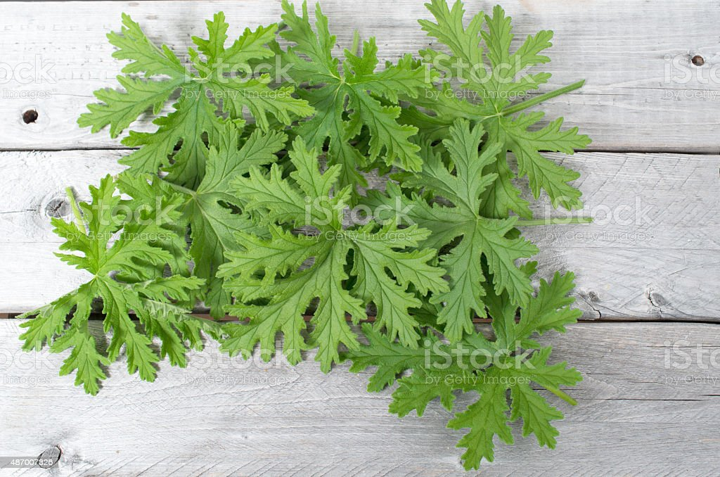 SCENTED GERANIUMS leaves natural mosquitoes repellent stock photo