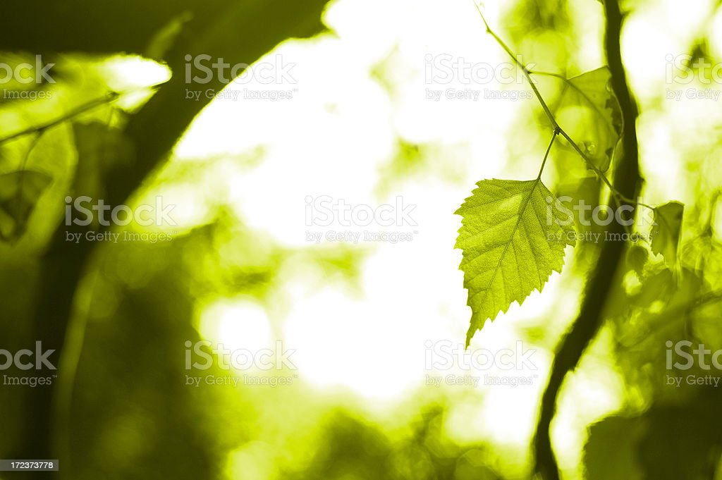 Leaves of a Birch Tree No.2 royalty-free stock photo