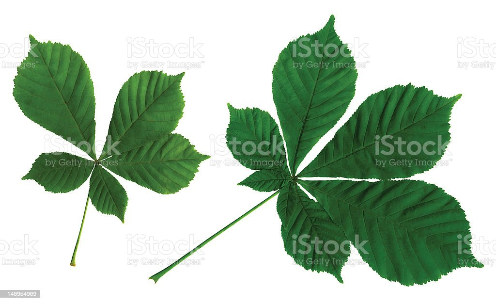 leaves of a chestnut royalty-free stock photo