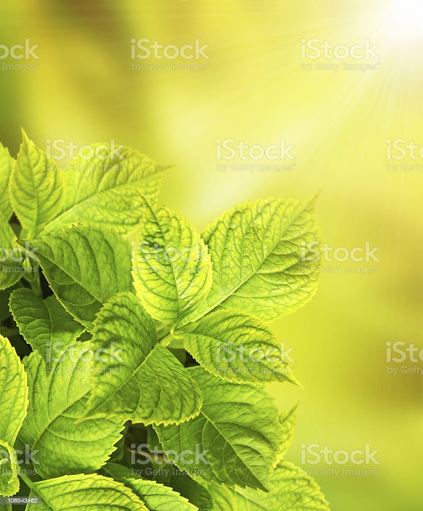 Leaves of a hydrangea stock photo