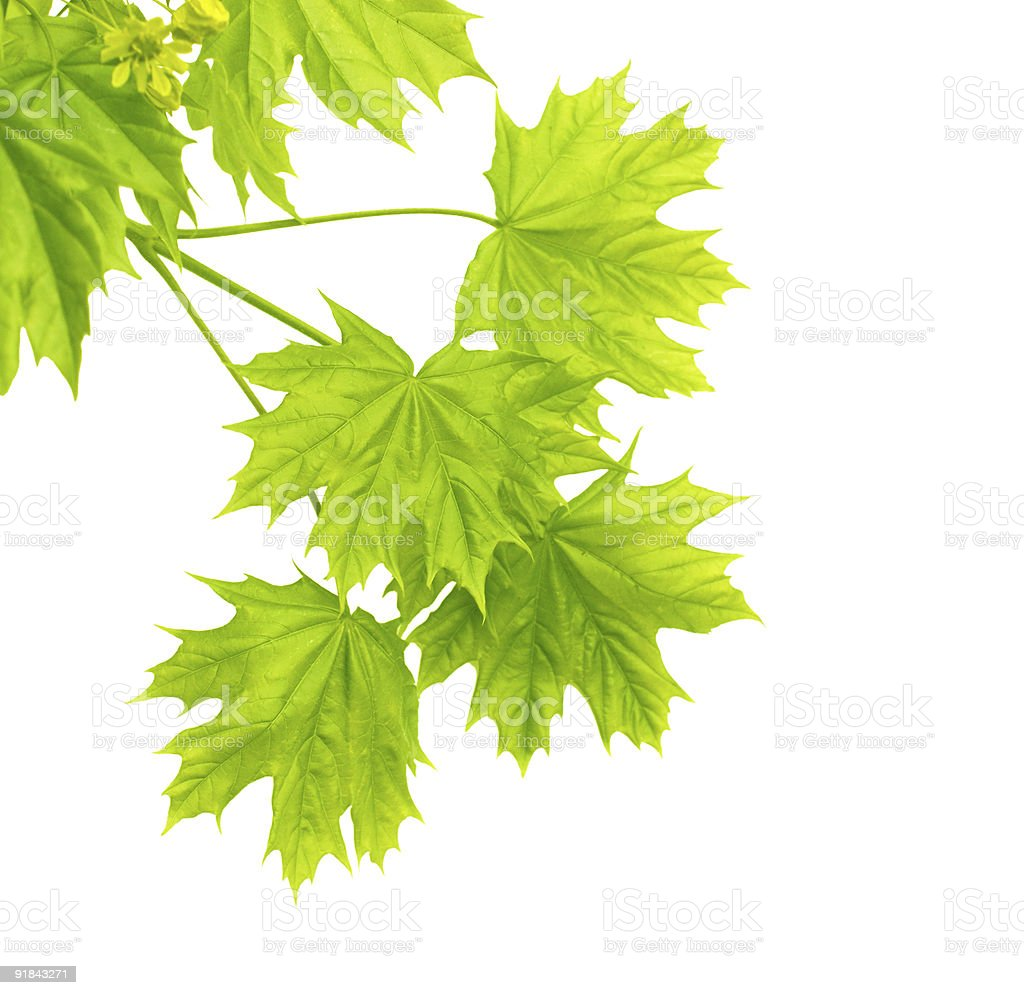 Leaves of a maple royalty-free stock photo
