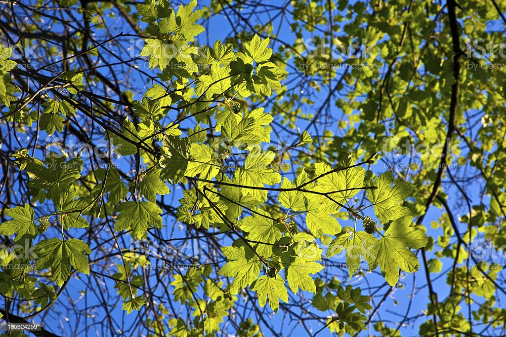 leaves of a tree in intensive light royalty-free stock photo