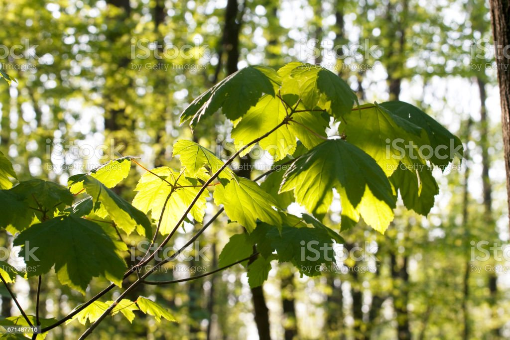 leaves of a tree in morning light stock photo