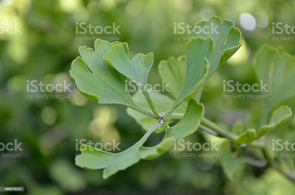 Leaves of a Wild Ginkgo Biloba Plant stock photo