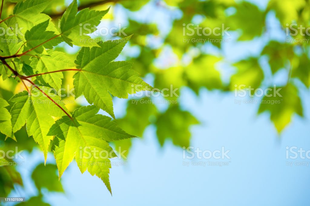 Leaves of 'Acer Tschonoskii' royalty-free stock photo