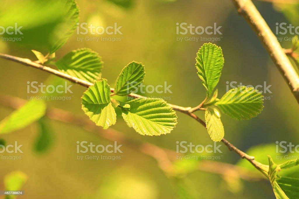 leaves of alder in the spring stock photo