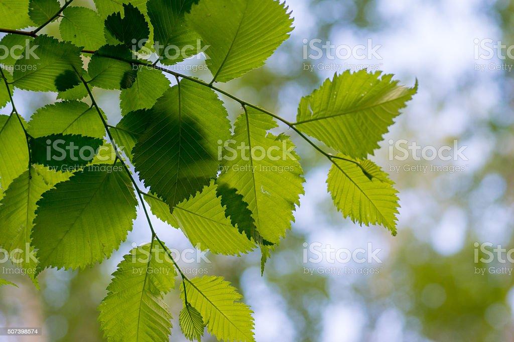 leaves of alder stock photo