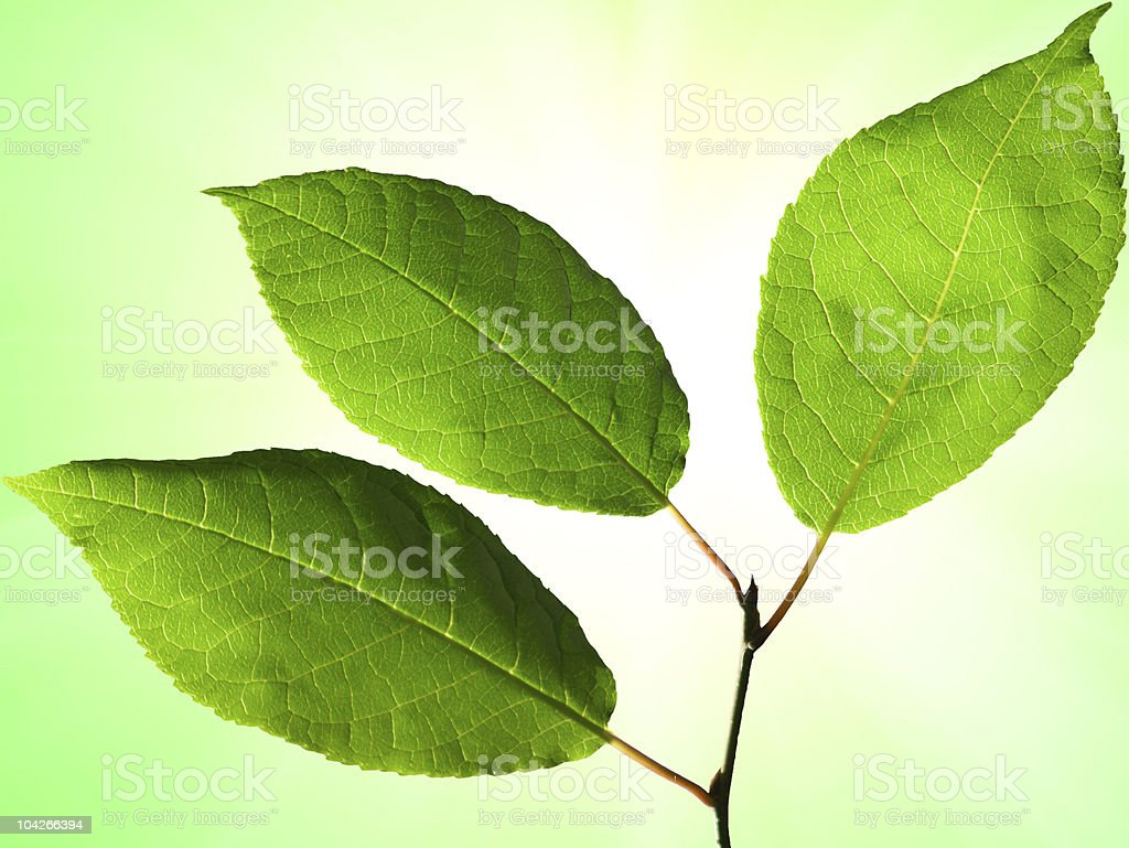 Leaves of an aspen close up royalty-free stock photo
