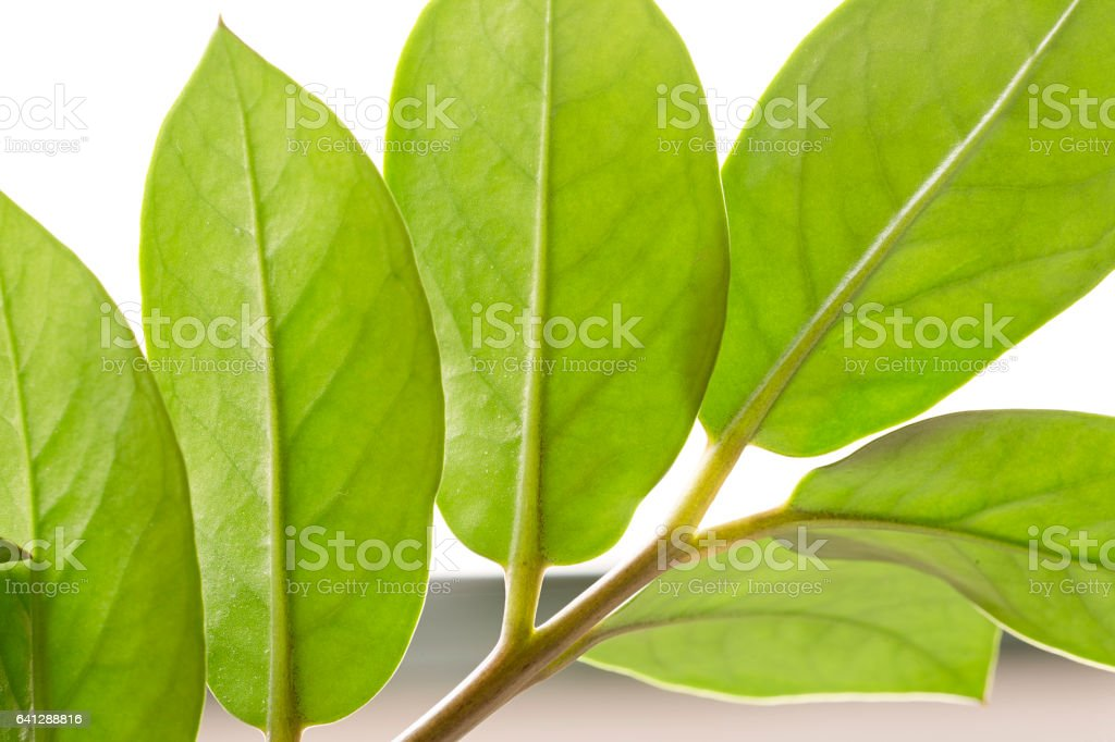 Leaves of an indoor plant stock photo