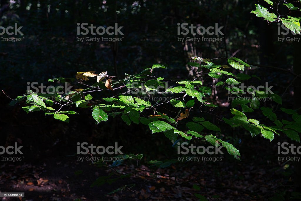 Leaves of Beech, lit by sun in dark forest stock photo