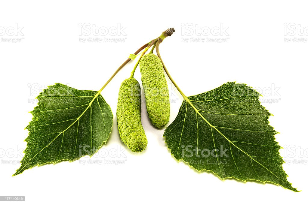 Leaves of birch stock photo
