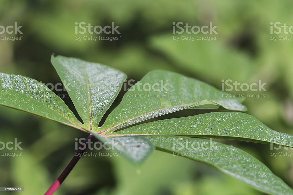 leaves of cassava (manioc) stock photo